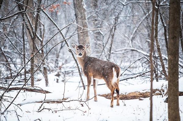 oud-en-nieuw-retraite-8-veluwe-hert-sneeuw
